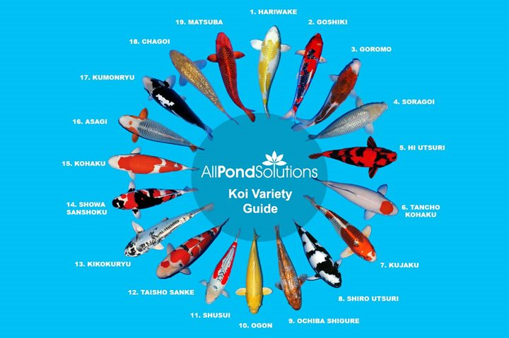 Koi variety guide for Koi carp varieties